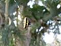 Gasteracantha taeniata by David Jeffrey Ringer - Madang Province, PNG.jpg
