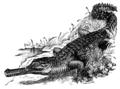 Gavialis gangeticus (Gharial).png