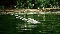 Gavialis gangeticus -Indira Gandhi Zoological Park, Visakhapatnam, India-8.jpg
