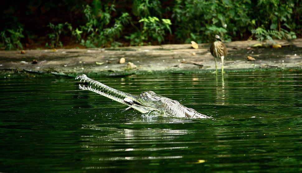Gavialis gangeticus -Indira Gandhi Zoological Park, Visakhapatnam, India-8