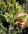 Gaylussacia bigeloviana c (16345967591).jpg