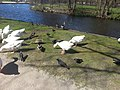 Geese and Pigeons in The Hague.jpg