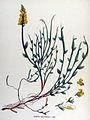 Genista sagittalis — Flora Batava — Volume v17.jpg
