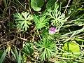 Geranium columbinum sl14.jpg