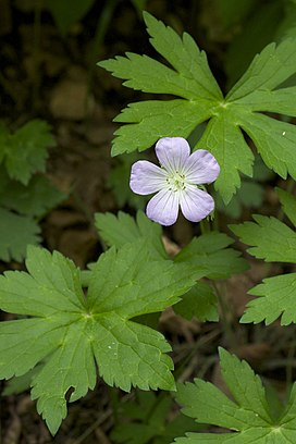 Geranium maculatum Leatherwood Lake.jpg
