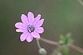 Geranium pyrenaicum (7344568674).jpg
