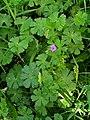 Geranium pyrenaicum 001.JPG