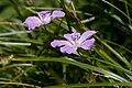 Geranium yesoense var. nipponicum 06.jpg