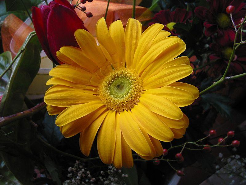 File:Gerbera gialla.jpg
