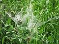 Gespinstmottenlarven.Landschaftsschutzgebiet.Grossbeeren.jpg