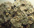 Gfp-several-small-ammonites-preserved-on-rock.jpg
