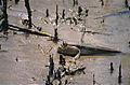 Giant Mudskipper (Periophthalmodon schlosseri) (14148004551).jpg
