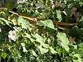 Giardino botanico di Brera (Milan) 332.jpg