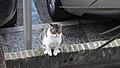 Gibraltar Cat (30DEC17) (1).jpg