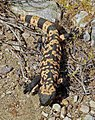 Gila monster (16093662778).jpg