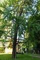 Ginkgo Elisabethstraße Graz 987 (2).JPG
