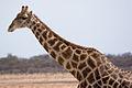 Giraffe (3688071642).jpg