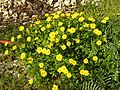 Glebionis segetum plant (13).jpg