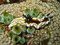 Glossodoris atromarginata Philippines2.jpg