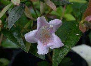 Glossy Abelia 'Edward Goucher' (Abelia x grand...