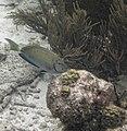 Glover's Reef 2-13 (32428809574).jpg