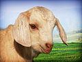Goat kid444.jpg