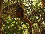 Golden Bamboo Lemur, Ranomafana National Park (3953013213).jpg