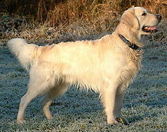 Golden Retriever Dukedestiny01 drvd.jpg