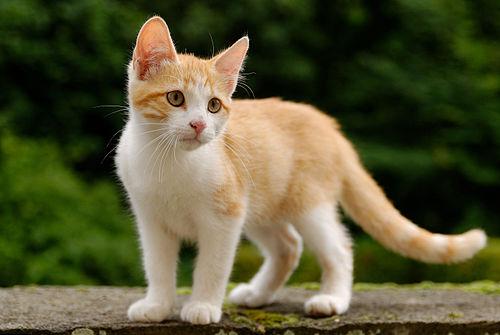 slåss kastrerte katter
