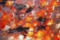 Goldfishcluster.jpg