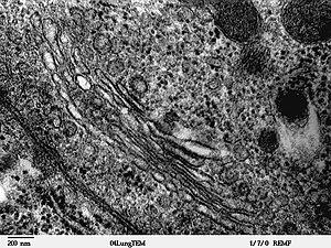 Hücre Organelleri - Golgi Cisimciği (Golgi Aygıtı)