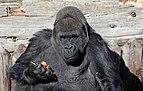 Gorille des Plaines de l'Ouest.jpg