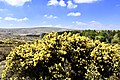 Gorse on Dartmoor (41871219332).jpg