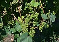 Grape vines (8) (22130324660).jpg