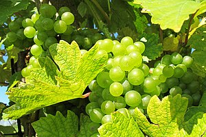Czech wine - Image: Grapes in Pálava region (1)