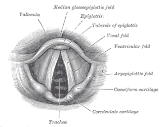 Singing - A labeled anatomical diagram of the vocal folds or cords