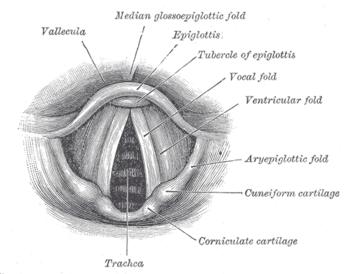 Laringe Legenda Epiglottis Epiglote Vocal Fold Pregas Vocais Trachea