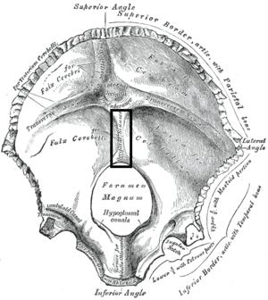 Internal occipital crest - Occipital bone. Inner surface. (Position of internal occipital crest labeled as occipital sinus at center.)