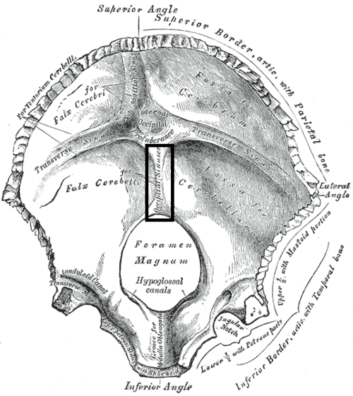 Internal Occipital Crest