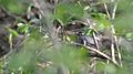 Gray Catbird (Dumetella carolinensis) - Guelph, Ontario.jpg