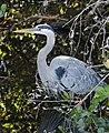 Great Blue Heron (6743058965).jpg