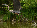 Great Blue Heron at Sleepy Hollow Lake 2015.jpg