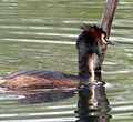 Great Crested Grebe. Podiceps cristatus. 1 - Flickr - gailhampshire.jpg