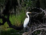 Great Egret - Myakka River State Park