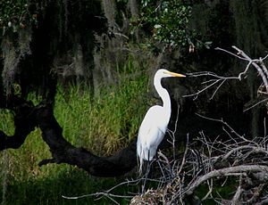 Manatee County, Florida - A great egret in Myakka River State Park