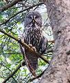 Great Grey Owl (Strix nebulosa), Belarus 1.jpg