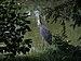 Great blue heron (70308).jpg