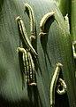 Great evening brown 2011 07 03 7451 balakrishnan valappil (6022917588).jpg