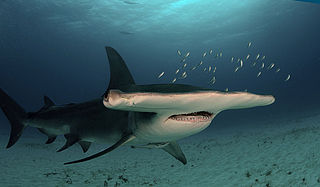 species of shark (Sphyrna mokarran)