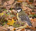 Great tit (37726778285).jpg